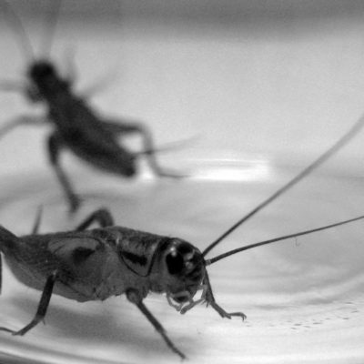 How I Make $1200 Per Month Selling Live Crickets